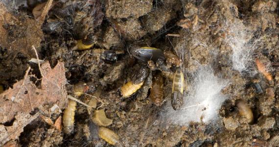 Trauermücken Schädlinge Krankheiten Canna österreich