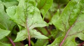Selbst anbauen: Spinat