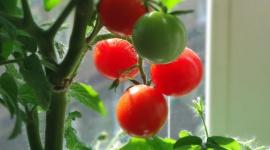 Selbst anbauen: Tomaten